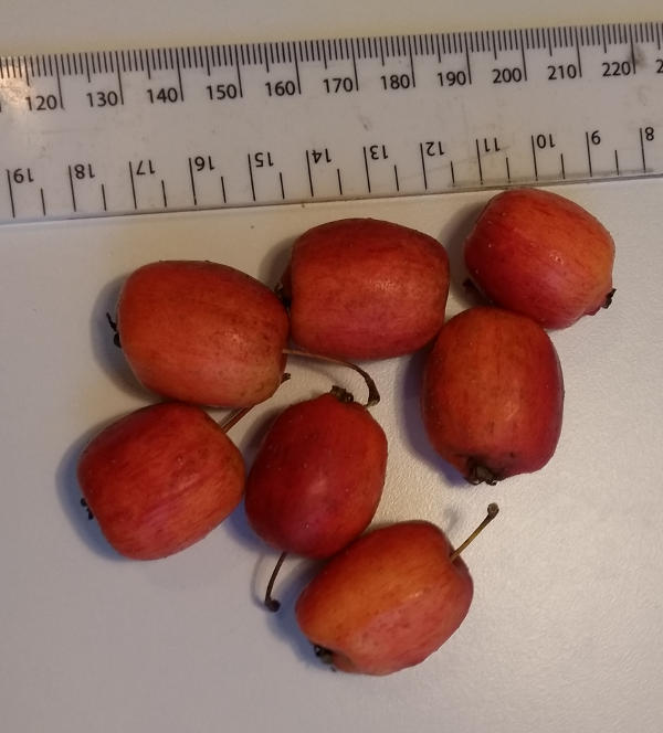 Apples from a seed grown tree with a tell tale problem.